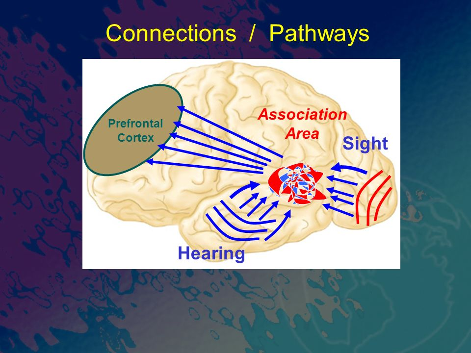 Sight Connections / Pathways Prefrontal Cortex Hearing Association Area