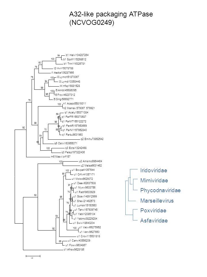 A32-like packaging ATPase (NCVOG0249) Phycodnaviridae Iridoviridae Mimiviridae Poxviridae Asfaviridae Marseillevirus