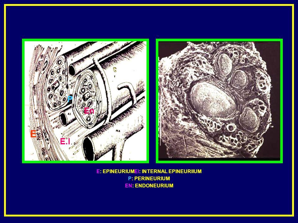 E: EPINEURIUMEI: INTERNAL EPINEURIIUM P: PERINEURIUM EN: ENDONEURIUM E.I. P En E
