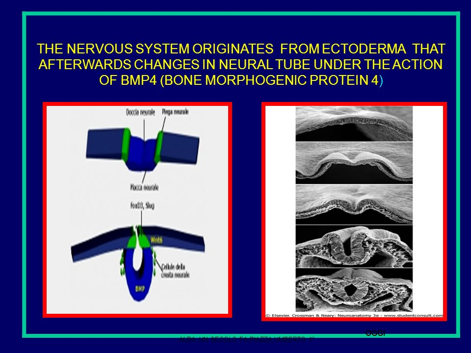 NEURON IS A SECRETING CELL THAT PRODUCES: A ) CYTOPLASMIC SUBSTANCES FOR MANTAINING OR REPAIRING ITS CYTOSKELETON AND B ) NEUROTRASMITTERS ( DIFFERENT ACCORDING TO THE TYPE OF NEURONS).