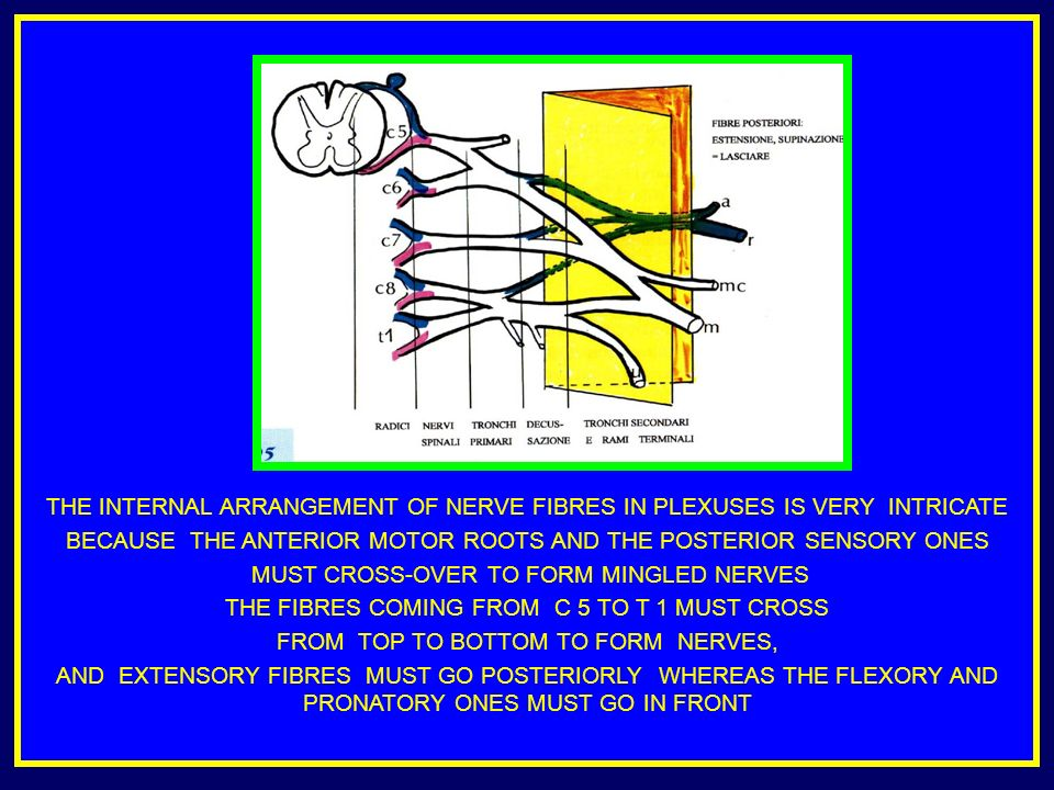 THE INTERNAL ARRANGEMENT OF NERVE FIBRES IN PLEXUSES IS VERY INTRICATE BECAUSE THE ANTERIOR MOTOR ROOTS AND THE POSTERIOR SENSORY ONES MUST CROSS-OVER