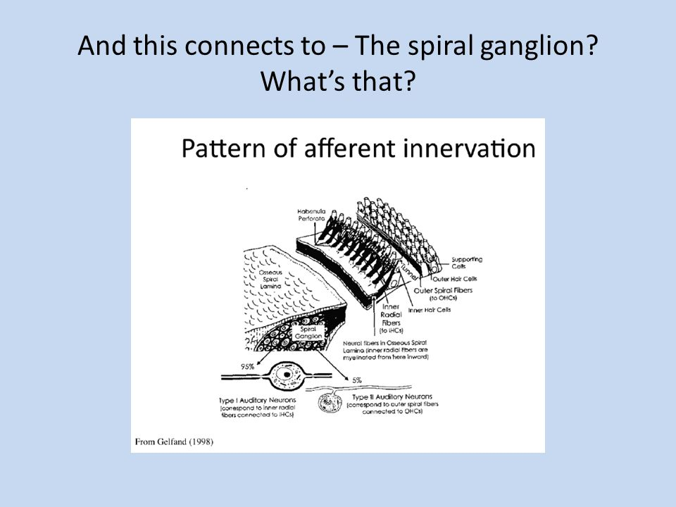 And this connects to – The spiral ganglion? Whats that?