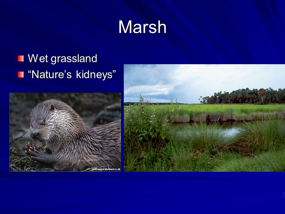 Marsh Wet grassland Natures kidneys