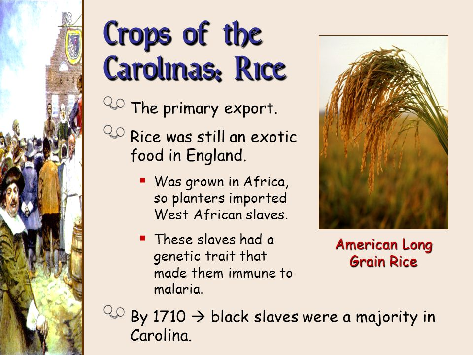 The primary export. Rice was still an exotic food in England. Was grown in Africa, so planters imported West African slaves. These slaves had a geneti