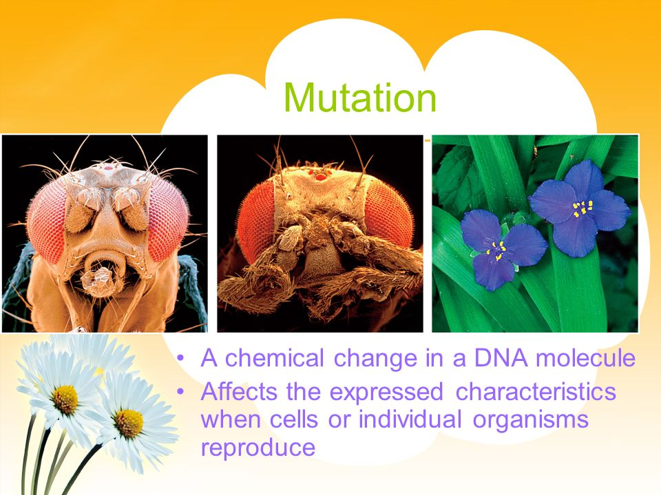 Mutation A chemical change in a DNA molecule Affects the expressed characteristics when cells or individual organisms reproduce