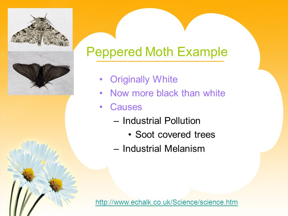 Peppered Moth Example Originally White Now more black than white Causes –Industrial Pollution Soot covered trees –Industrial Melanism http://www.echalk.co.uk/Science/science.htm