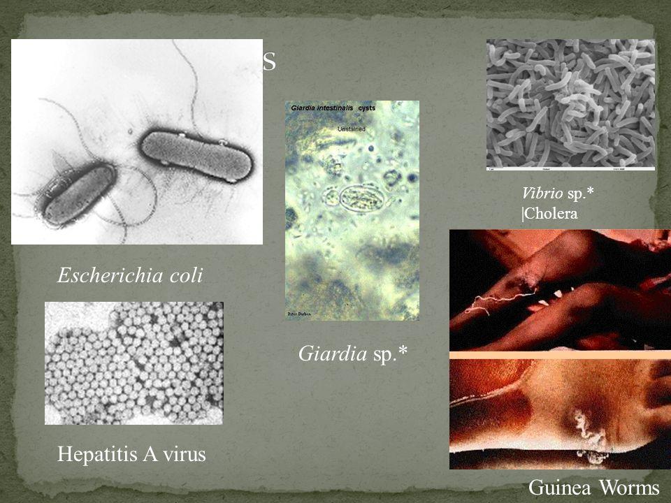 Escherichia coli Giardia sp.* Hepatitis A virus Guinea Worms Vibrio sp.*  Cholera