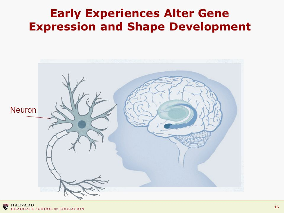 16 Early Experiences Alter Gene Expression and Shape Development Neuron