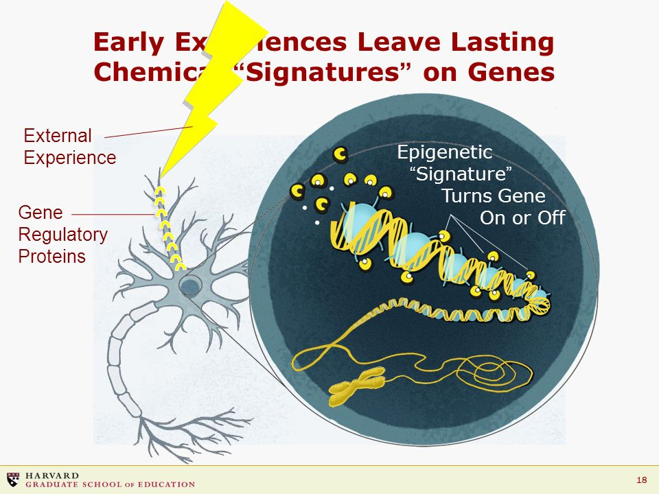18 Early Experiences Leave Lasting Chemical Signatures on Genes External Experience Gene Regulatory Proteins Epigenetic Signature Turns Gene On or Off