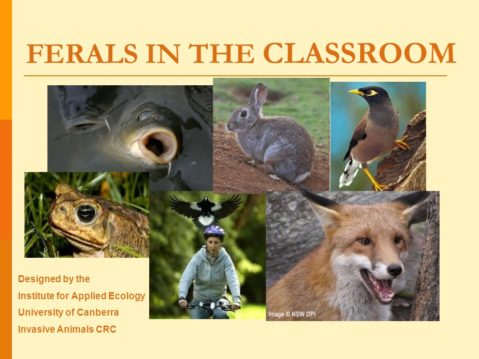 FERALS IN THE CLASSROOM Designed by the Institute for Applied Ecology University of Canberra Invasive Animals CRC