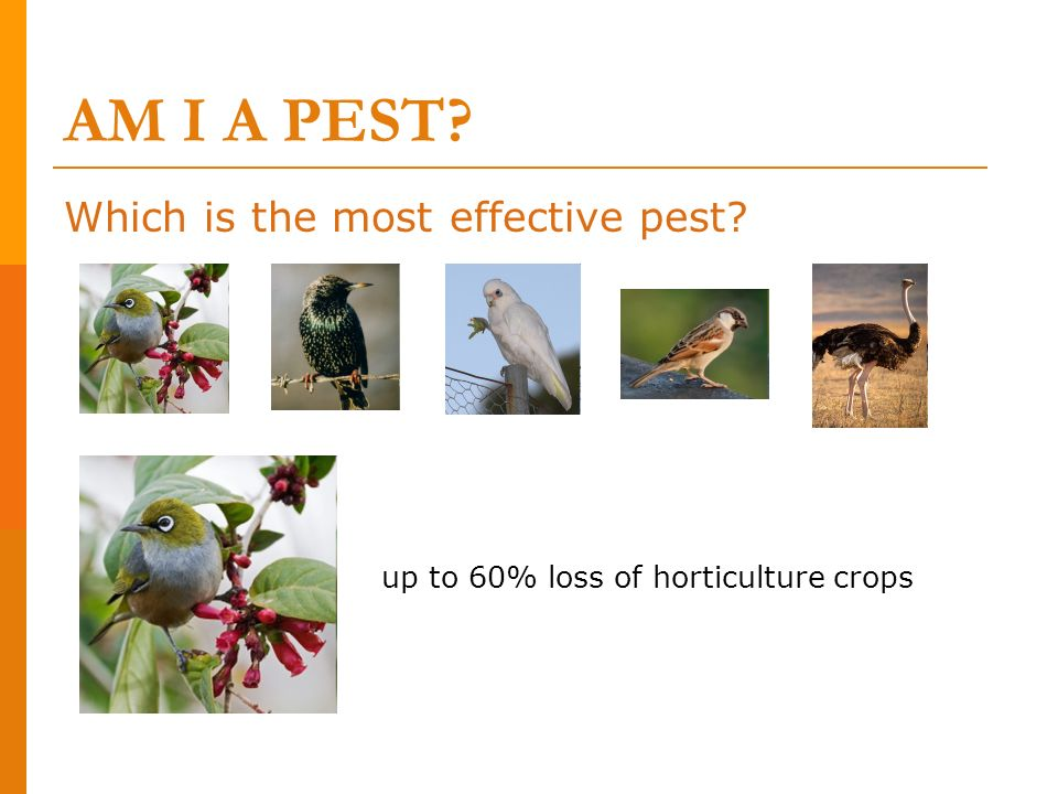 Which is the most effective pest? up to 60% loss of horticulture crops AM I A PEST?