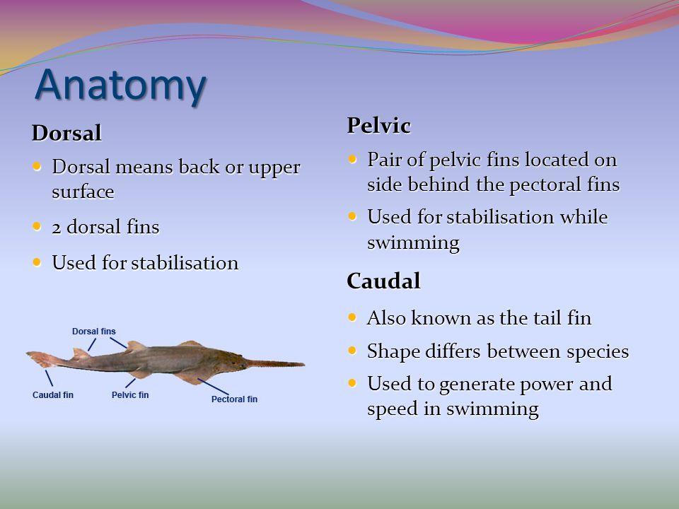 Anatomy Pelvic Pair of pelvic fins located on side behind the pectoral fins Pair of pelvic fins located on side behind the pectoral fins Used for stab