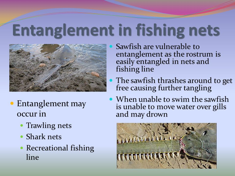 Entanglement in fishing nets Entanglement may occur in Trawling nets Shark nets Recreational fishing line Sawfish are vulnerable to entanglement as th