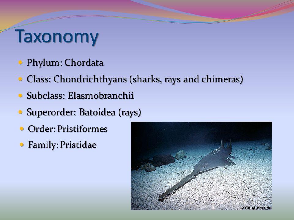 Taxonomy Phylum: Chordata Phylum: Chordata Class: Chondrichthyans (sharks, rays and chimeras) Class: Chondrichthyans (sharks, rays and chimeras) Subcl