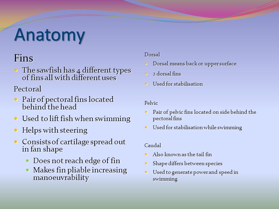 Anatomy Fins The sawfish has 4 different types of fins all with different uses The sawfish has 4 different types of fins all with different usesPector