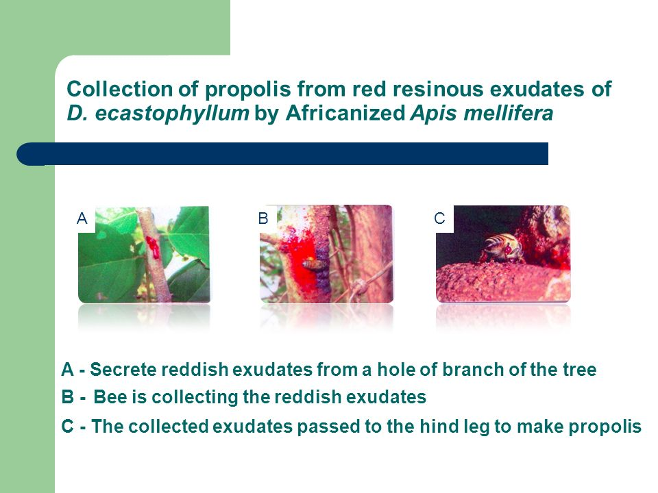Collection of propolis from red resinous exudates of D. ecastophyllum by Africanized Apis mellifera ABC A - Secrete reddish exudates from a hole of br