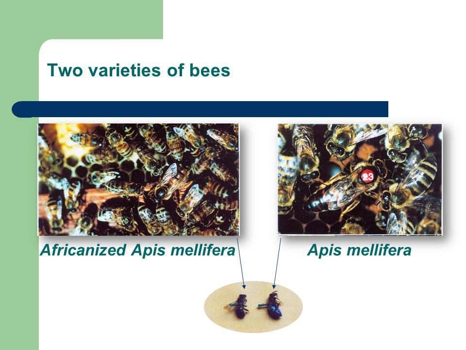 Apis melliferaAfricanized Apis mellifera Two varieties of bees