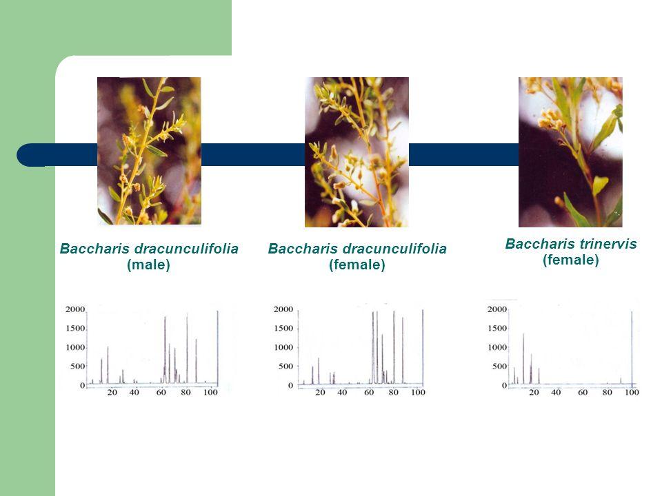 Baccharis dracunculifolia (male) Baccharis dracunculifolia (female) Baccharis trinervis (female)
