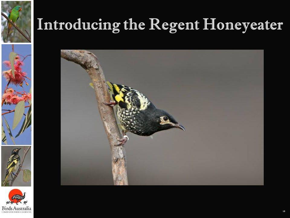 10 Introducing the Regent Honeyeater