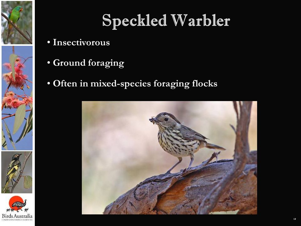 19 Speckled Warbler Insectivorous Ground foraging Often in mixed-species foraging flocks