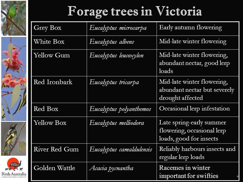 21 Forage trees in Victoria Grey BoxEucalyptus microcarpa Early autumn flowering White BoxEucalyptus albens Mid-late winter flowering Yellow GumEucaly