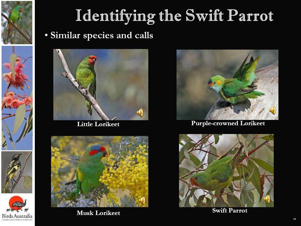 24 Identifying the Swift Parrot Similar species and calls Little Lorikeet Musk Lorikeet Purple-crowned Lorikeet Swift Parrot