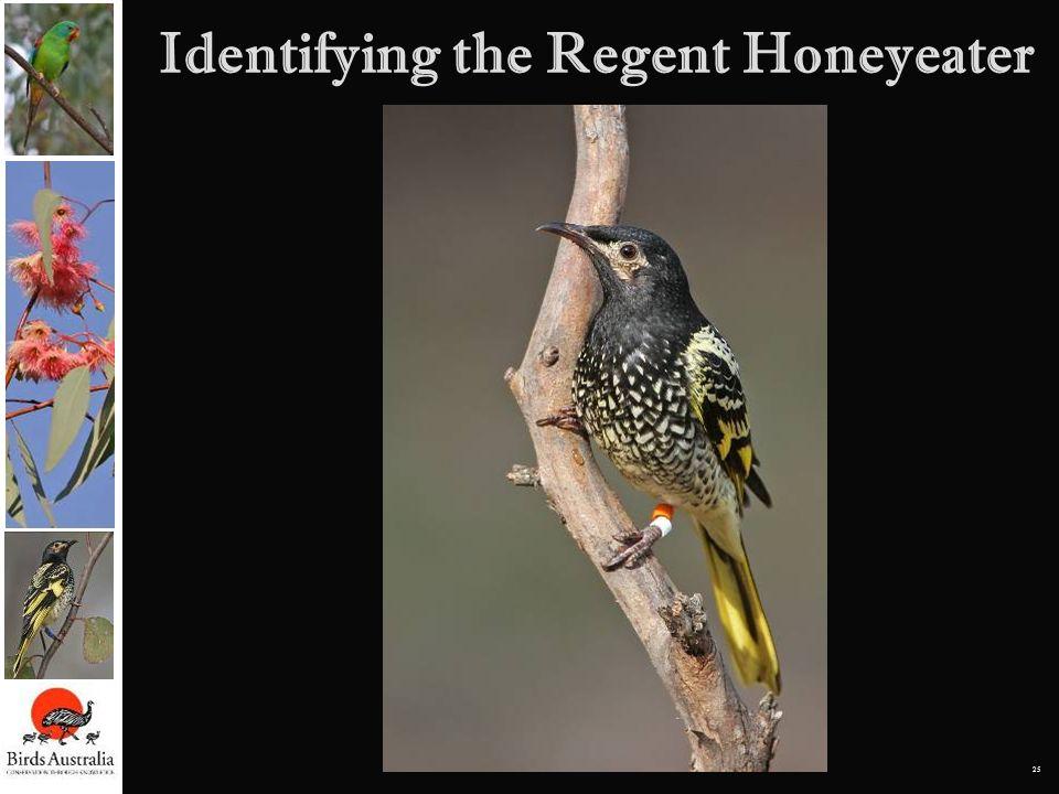 25 Identifying the Regent Honeyeater