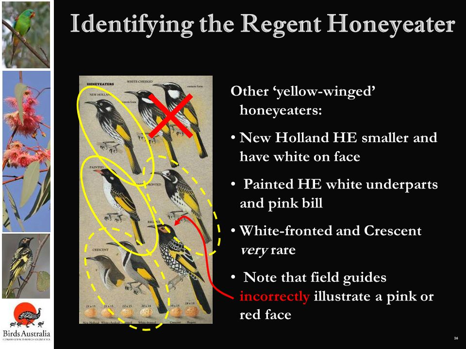 26 Identifying the Regent Honeyeater Other yellow-winged honeyeaters: New Holland HE smaller and have white on face Painted HE white underparts and pi