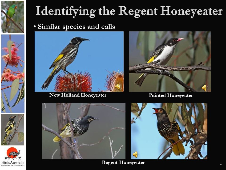 27 Identifying the Regent Honeyeater Similar species and calls Regent Honeyeater New Holland Honeyeater Painted Honeyeater