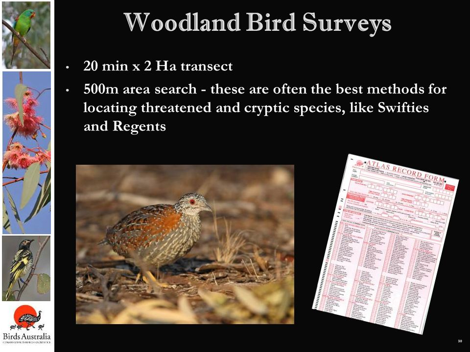 30 20 min x 2 Ha transect 500m area search - these are often the best methods for locating threatened and cryptic species, like Swifties and Regents W