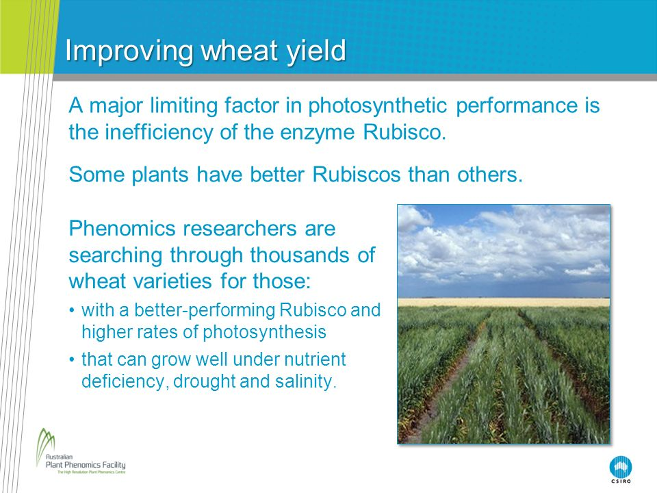 Improving wheat yield A major limiting factor in photosynthetic performance is the inefficiency of the enzyme Rubisco. Some plants have better Rubisco
