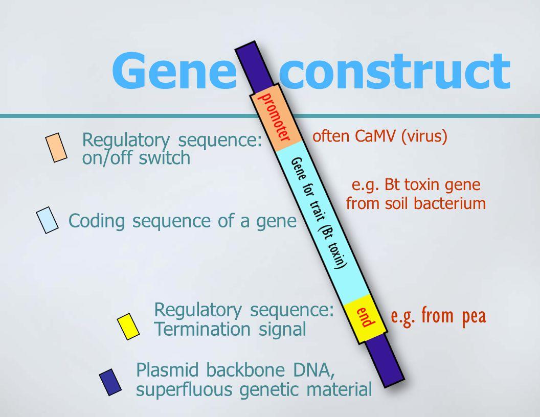 Gene construct Regulatory sequence: on/off switch Coding sequence of a gene Regulatory sequence: Termination signal Plasmid backbone DNA, superfluous