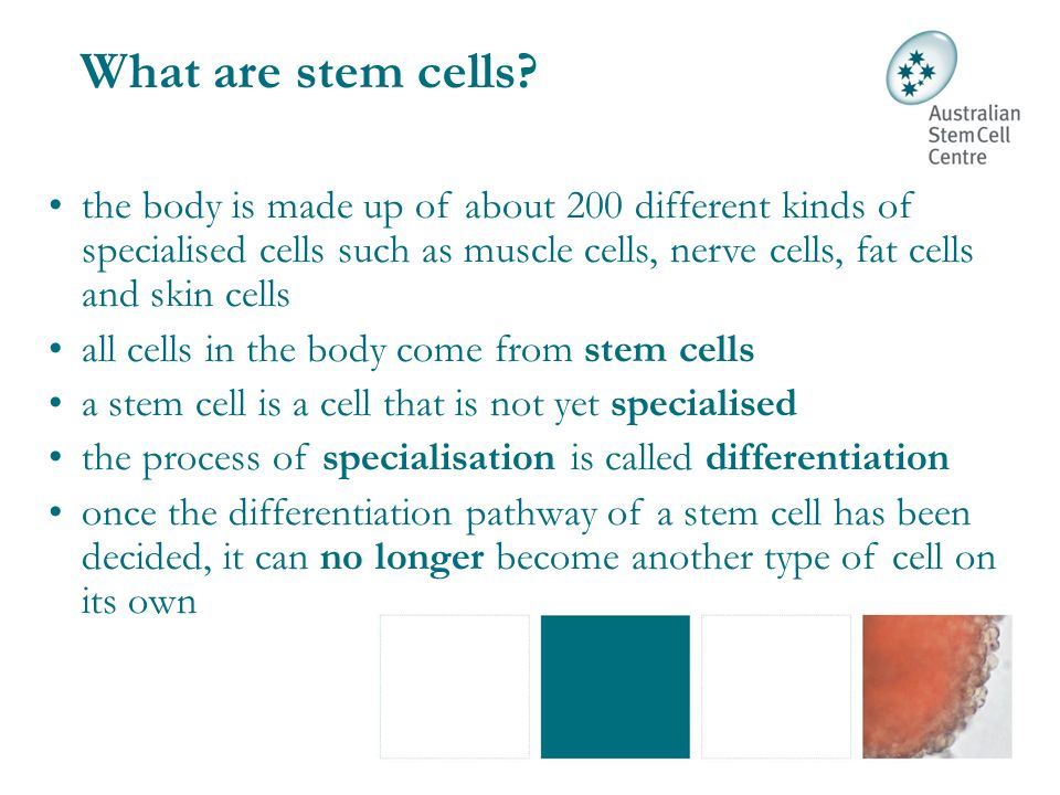 Stem cells can: self-renew to make more stem cells differentiate into a specialised cell type Embryonic stem cells (pluripotent) Stem cells that can become many types of cells in the body are called pluripotent Tissue stem cells (multipotent) Stem cells that can become only a few types of cells are called multipotent Why are stem cells special?