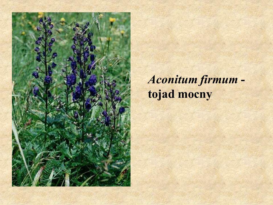 Aconitum firmum - tojad mocny