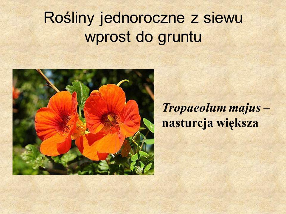 Rośliny jednoroczne z siewu wprost do gruntu Tropaeolum majus – nasturcja większa