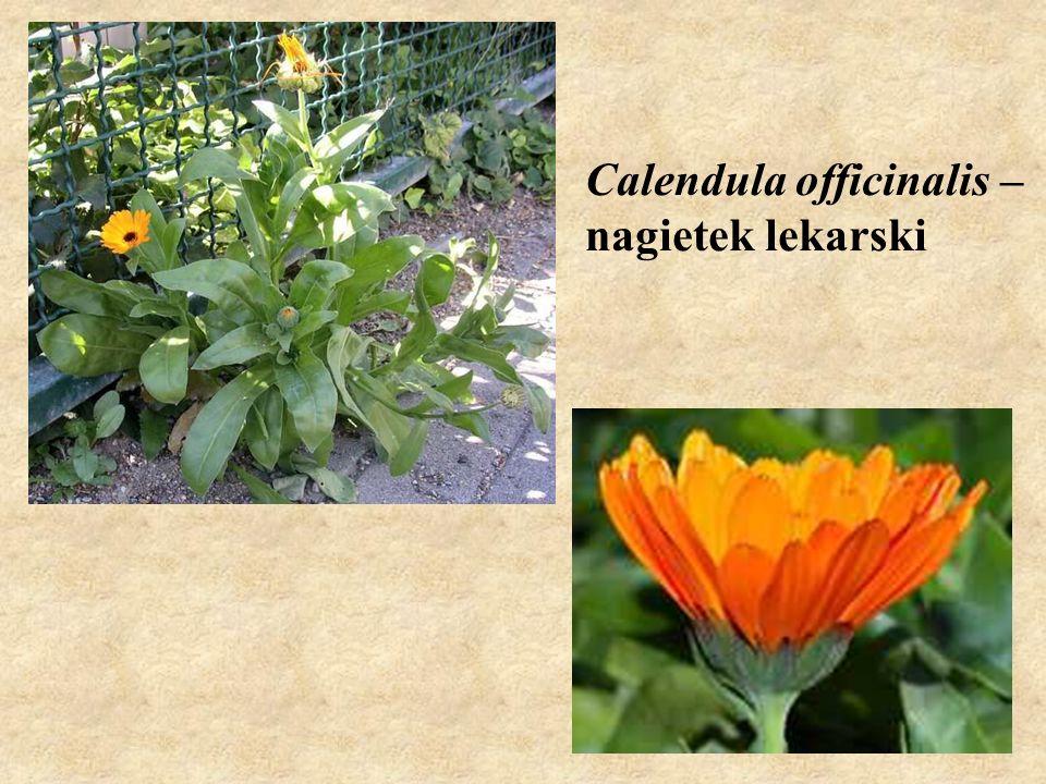 Calendula officinalis – nagietek lekarski