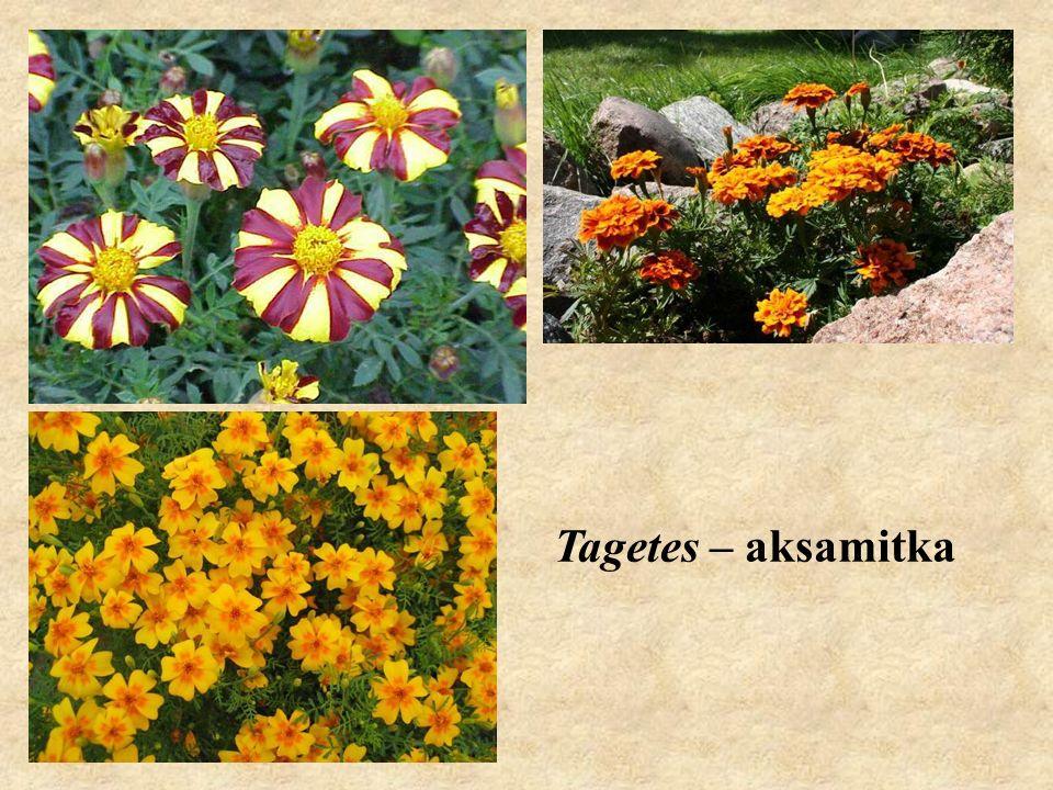 Tagetes – aksamitka