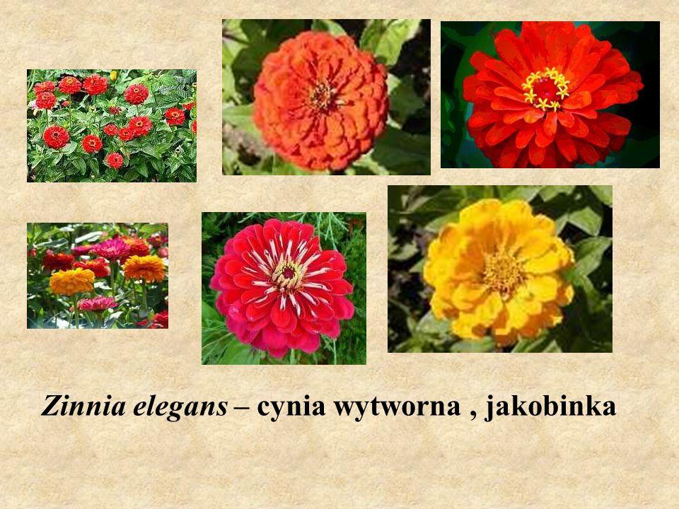 Zinnia elegans – cynia wytworna, jakobinka