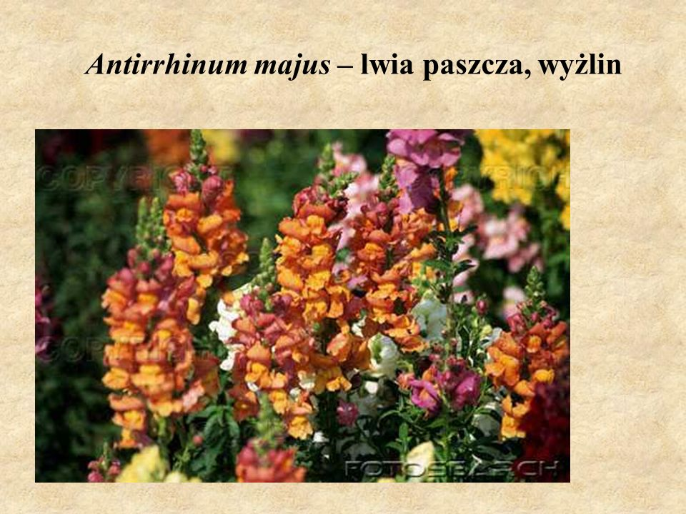 Antirrhinum majus – lwia paszcza, wyżlin