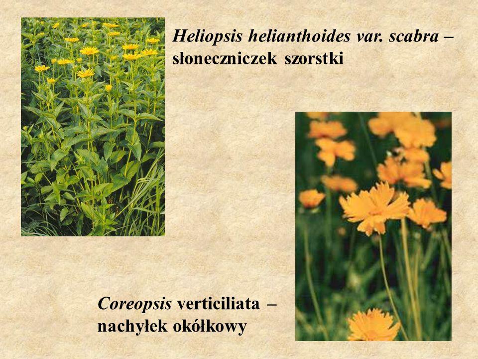 Heliopsis helianthoides var. scabra – słoneczniczek szorstki Coreopsis verticiliata – nachyłek okółkowy