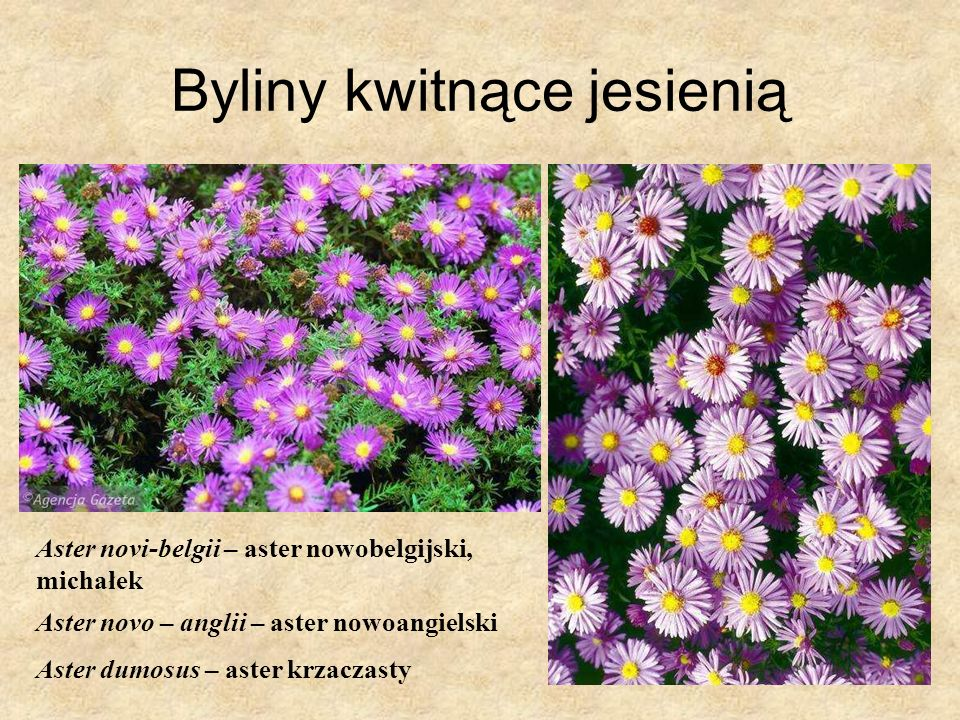 Byliny kwitnące jesienią Aster novi-belgii – aster nowobelgijski, michałek Aster novo – anglii – aster nowoangielski Aster dumosus – aster krzaczasty