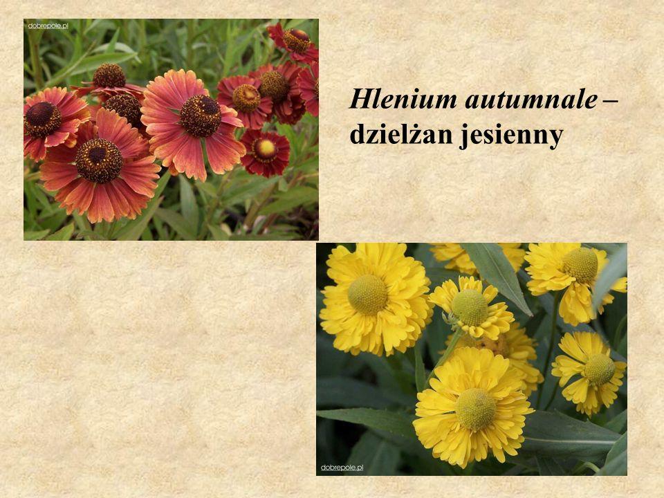 Hlenium autumnale – dzielżan jesienny