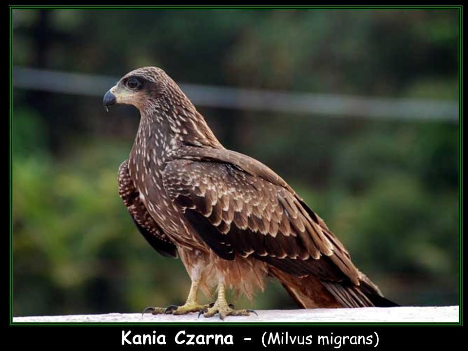 Kania Czarna - (Milvus migrans)