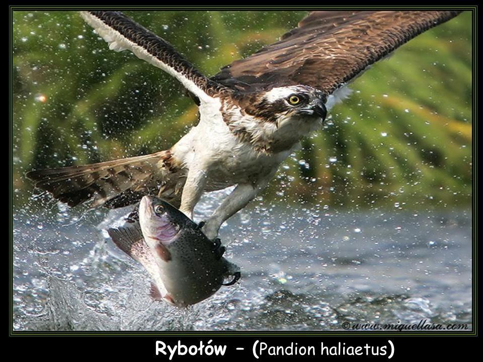 Rybołów – ( Pandion haliaetus )