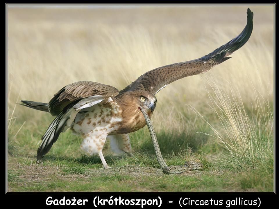 Gadożer (krótkoszpon) - (Circaetus gallicus)