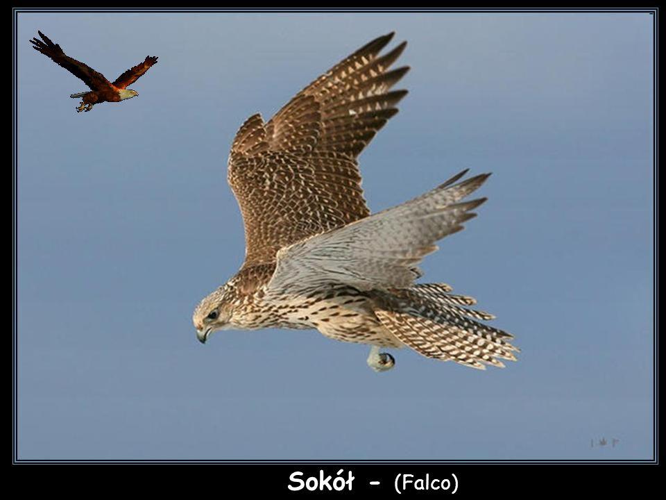 Pustułka amerykańska - (Falco sparverius)