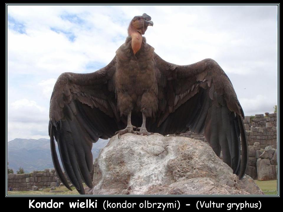 Kondor kalifornijski - (Gymnogyps californianus)