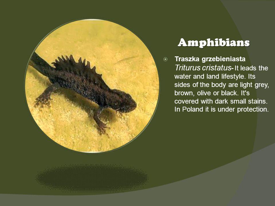 Kliknij ikonę, aby dodać obraz Amphibians Traszka grzebieniasta Triturus cristatus - It leads the water and land lifestyle. Its sides of the body are