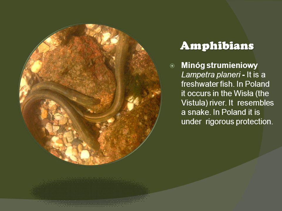 Kliknij ikonę, aby dodać obraz Amphibians Minóg strumieniowy Lampetra planeri - It is a freshwater fish.