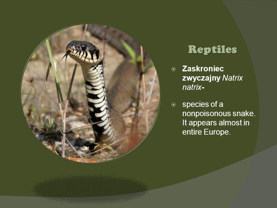 Kliknij ikonę, aby dodać obraz Zaskroniec zwyczajny Natrix natrix- species of a nonpoisonous snake. It appears almost in entire Europe. Reptiles